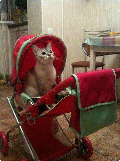 Всем привет!!!! Знакомьтесь, мои кошки. Тося, Степа, Вася, Тиша. фото 15