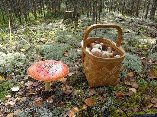 Прогуляемся немного по осеннему лесу и полюбуемся обыкновенными мухоморами, которых фотографировать не перефотографировать.... фото 5