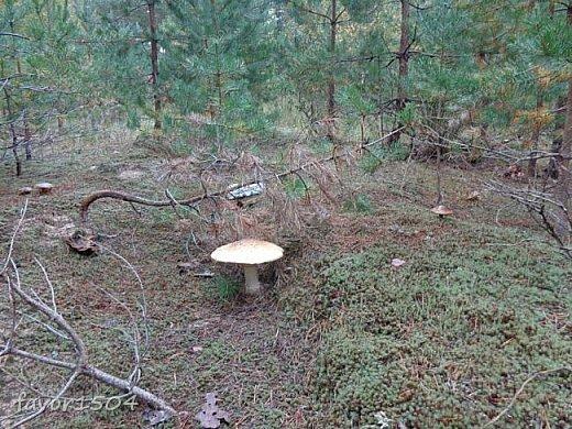 Прогуляемся немного по осеннему лесу и полюбуемся обыкновенными мухоморами, которых фотографировать не перефотографировать.... фото 7