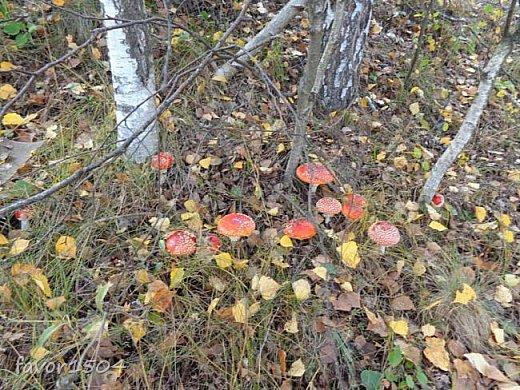 Прогуляемся немного по осеннему лесу и полюбуемся обыкновенными мухоморами, которых фотографировать не перефотографировать.... фото 10