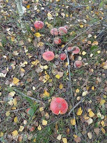 Прогуляемся немного по осеннему лесу и полюбуемся обыкновенными мухоморами, которых фотографировать не перефотографировать.... фото 12