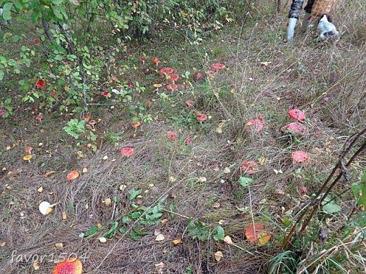 Прогуляемся немного по осеннему лесу и полюбуемся обыкновенными мухоморами, которых фотографировать не перефотографировать.... фото 14