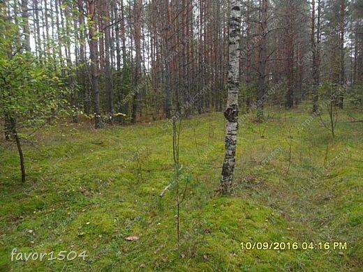 Прогуляемся немного по осеннему лесу и полюбуемся обыкновенными мухоморами, которых фотографировать не перефотографировать.... фото 1