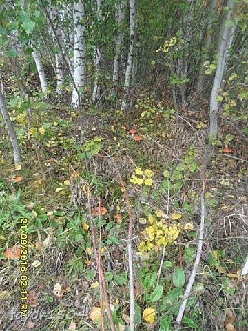Прогуляемся немного по осеннему лесу и полюбуемся обыкновенными мухоморами, которых фотографировать не перефотографировать.... фото 17