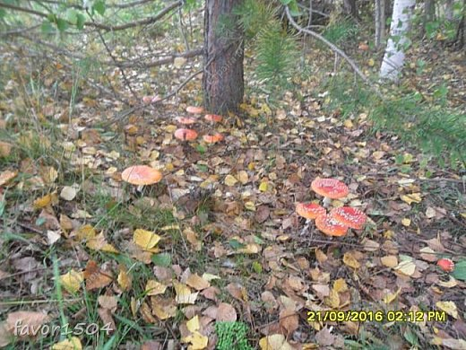 Прогуляемся немного по осеннему лесу и полюбуемся обыкновенными мухоморами, которых фотографировать не перефотографировать.... фото 15