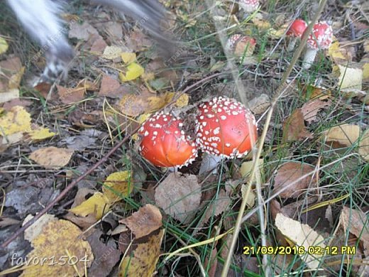 Прогуляемся немного по осеннему лесу и полюбуемся обыкновенными мухоморами, которых фотографировать не перефотографировать.... фото 16