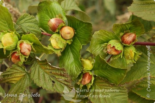 Привет всем жителям страны! Сегодня я к вам с волшебными орешками и молодильными яблочками) фото 9