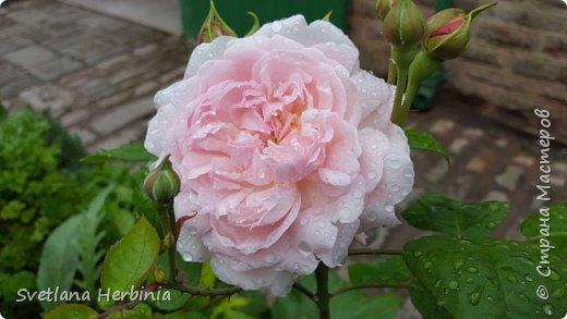 Есть роза дивная: она Пред изумлённою Киферой Цветёт, румяна и пышна, Благословенная Венерой. Вотще Киферу и Пафос Мертвит дыхание мороза, Блестит между минутных роз Неувядаемая роза…  (А.С.Пушкин) фото 19