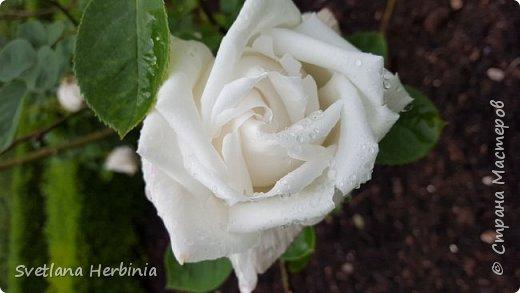 Есть роза дивная: она Пред изумлённою Киферой Цветёт, румяна и пышна, Благословенная Венерой. Вотще Киферу и Пафос Мертвит дыхание мороза, Блестит между минутных роз Неувядаемая роза…  (А.С.Пушкин) фото 25