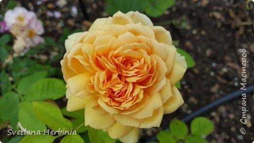 Есть роза дивная: она Пред изумлённою Киферой Цветёт, румяна и пышна, Благословенная Венерой. Вотще Киферу и Пафос Мертвит дыхание мороза, Блестит между минутных роз Неувядаемая роза…  (А.С.Пушкин) фото 27
