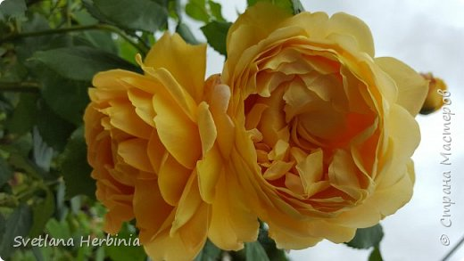 Есть роза дивная: она Пред изумлённою Киферой Цветёт, румяна и пышна, Благословенная Венерой. Вотще Киферу и Пафос Мертвит дыхание мороза, Блестит между минутных роз Неувядаемая роза…  (А.С.Пушкин) фото 28