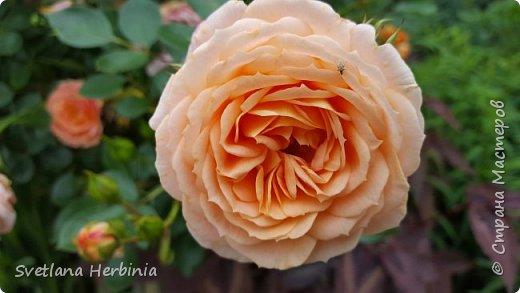 Есть роза дивная: она Пред изумлённою Киферой Цветёт, румяна и пышна, Благословенная Венерой. Вотще Киферу и Пафос Мертвит дыхание мороза, Блестит между минутных роз Неувядаемая роза…  (А.С.Пушкин) фото 29