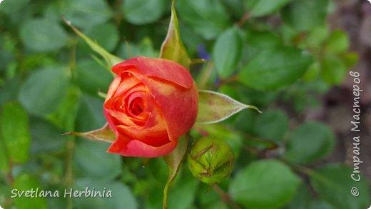 Есть роза дивная: она Пред изумлённою Киферой Цветёт, румяна и пышна, Благословенная Венерой. Вотще Киферу и Пафос Мертвит дыхание мороза, Блестит между минутных роз Неувядаемая роза…  (А.С.Пушкин) фото 30