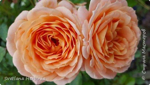 Есть роза дивная: она Пред изумлённою Киферой Цветёт, румяна и пышна, Благословенная Венерой. Вотще Киферу и Пафос Мертвит дыхание мороза, Блестит между минутных роз Неувядаемая роза…  (А.С.Пушкин) фото 31