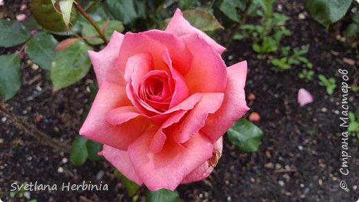 Есть роза дивная: она Пред изумлённою Киферой Цветёт, румяна и пышна, Благословенная Венерой. Вотще Киферу и Пафос Мертвит дыхание мороза, Блестит между минутных роз Неувядаемая роза…  (А.С.Пушкин) фото 34
