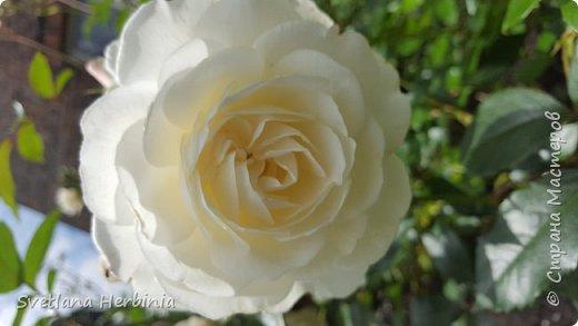 Есть роза дивная: она Пред изумлённою Киферой Цветёт, румяна и пышна, Благословенная Венерой. Вотще Киферу и Пафос Мертвит дыхание мороза, Блестит между минутных роз Неувядаемая роза…  (А.С.Пушкин) фото 35