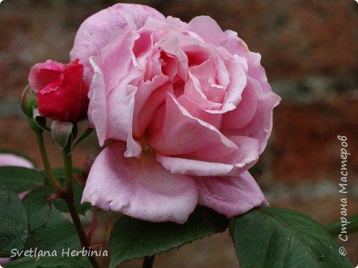 Есть роза дивная: она Пред изумлённою Киферой Цветёт, румяна и пышна, Благословенная Венерой. Вотще Киферу и Пафос Мертвит дыхание мороза, Блестит между минутных роз Неувядаемая роза…  (А.С.Пушкин) фото 36