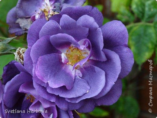 Есть роза дивная: она Пред изумлённою Киферой Цветёт, румяна и пышна, Благословенная Венерой. Вотще Киферу и Пафос Мертвит дыхание мороза, Блестит между минутных роз Неувядаемая роза…  (А.С.Пушкин) фото 37
