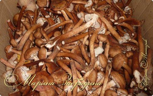 Опята – один из самых вкусных видов грибов, основной урожай которых приходится именно на начало-середину осени. Собрав большую корзинку грибов, их хочется не просто пожарить, но и заготовить на зиму. Сегодня расскажу свой рецепт консервирования опят.  Будьте внимательны: опята можно спутать с ложными опятами – ядовитыми грибами. Главные отличия ядовитых грибов: по окраске они намного ярче съедобных, на шляпке отсутствуют чешуйки. Съедобные опята также имеют на ножке кольцо-манжетку. фото 2