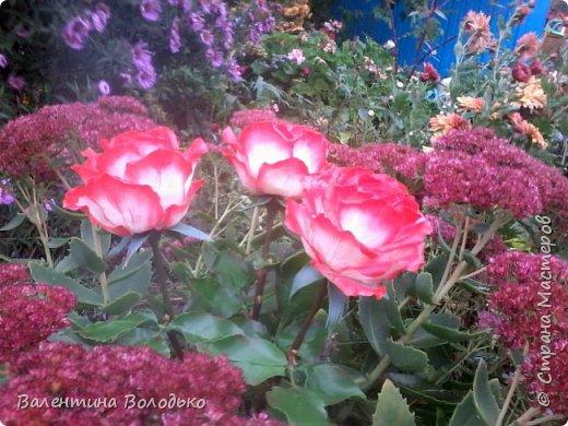 Добрый день мастера и мастерицы!!!!Вот такие розы слепила для своей доченьки.Давно хотела сделать розы такой расцветки,наконец получилось. фото 6