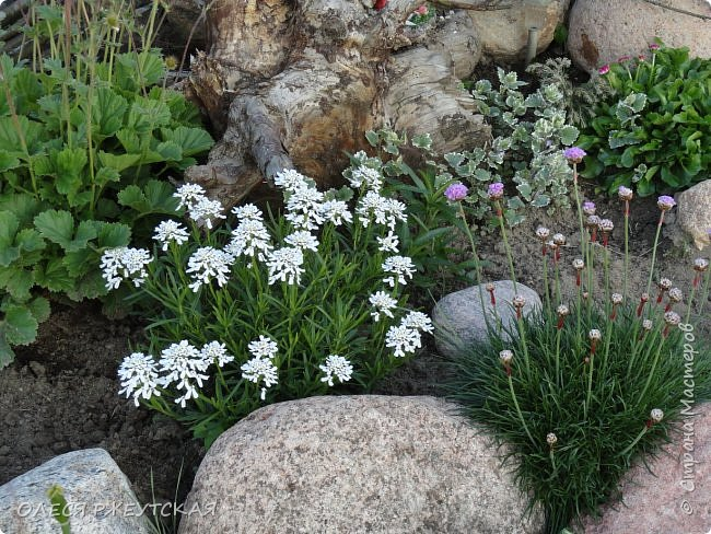 12. октября  а ещё столько красок в саду. Это моя мечта ,мои мысли , мои молитвы,моя радость -моя жизнь . С мужем до глубокой ночи работаем на участке,в этом году сделали пруд. и завели много новых зелёных питомцев. фото 5