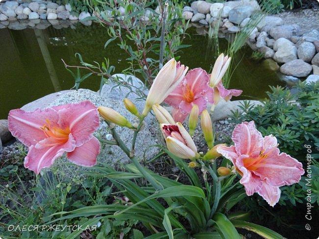 12. октября  а ещё столько красок в саду. Это моя мечта ,мои мысли , мои молитвы,моя радость -моя жизнь . С мужем до глубокой ночи работаем на участке,в этом году сделали пруд. и завели много новых зелёных питомцев. фото 24