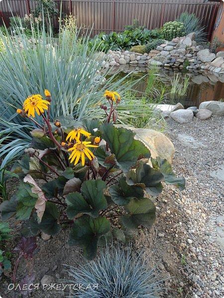 12. октября  а ещё столько красок в саду. Это моя мечта ,мои мысли , мои молитвы,моя радость -моя жизнь . С мужем до глубокой ночи работаем на участке,в этом году сделали пруд. и завели много новых зелёных питомцев. фото 29