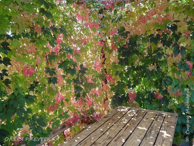 12. октября  а ещё столько красок в саду. Это моя мечта ,мои мысли , мои молитвы,моя радость -моя жизнь . С мужем до глубокой ночи работаем на участке,в этом году сделали пруд. и завели много новых зелёных питомцев. фото 41