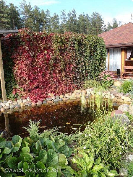 12. октября  а ещё столько красок в саду. Это моя мечта ,мои мысли , мои молитвы,моя радость -моя жизнь . С мужем до глубокой ночи работаем на участке,в этом году сделали пруд. и завели много новых зелёных питомцев. фото 42