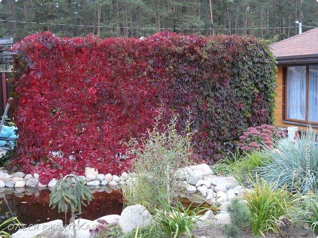 12. октября  а ещё столько красок в саду. Это моя мечта ,мои мысли , мои молитвы,моя радость -моя жизнь . С мужем до глубокой ночи работаем на участке,в этом году сделали пруд. и завели много новых зелёных питомцев. фото 49