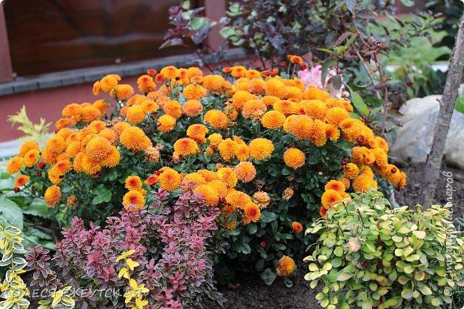12. октября  а ещё столько красок в саду. Это моя мечта ,мои мысли , мои молитвы,моя радость -моя жизнь . С мужем до глубокой ночи работаем на участке,в этом году сделали пруд. и завели много новых зелёных питомцев. фото 57
