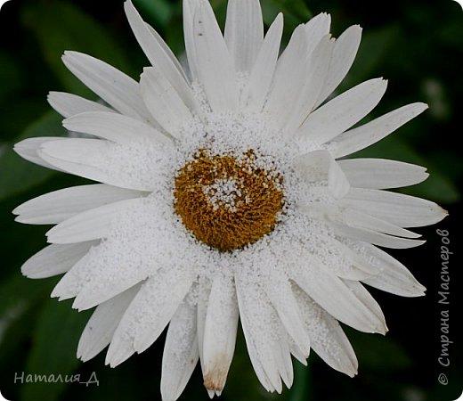 Доброго всем времени суток!!! Сегодня утром увидела первый в этом году снег (ну, скажем так, первый для меня) - крупенчатый, несерьезный, фрагментарный..... Но он присыпал последние цветики на нашем участке...... И я решила поделиться с Вами, добрые жители Страны Мастеров, подсмотренным.... фото 1
