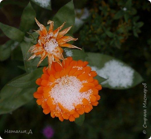Доброго всем времени суток!!! Сегодня утром увидела первый в этом году снег (ну, скажем так, первый для меня) - крупенчатый, несерьезный, фрагментарный..... Но он присыпал последние цветики на нашем участке...... И я решила поделиться с Вами, добрые жители Страны Мастеров, подсмотренным.... фото 5