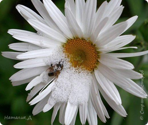 Доброго всем времени суток!!! Сегодня утром увидела первый в этом году снег (ну, скажем так, первый для меня) - крупенчатый, несерьезный, фрагментарный..... Но он присыпал последние цветики на нашем участке...... И я решила поделиться с Вами, добрые жители Страны Мастеров, подсмотренным.... фото 3