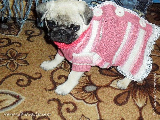 Привет СМ,эту маленькую девочку зовут Нюша,и она замерзла,холодно у нас(снег уж)ей всего 3 мес.,вот сделаны прививки и пора бы погулять,был и сделан заказ на пару теплых кофточек,я уже говорила вроде,шью из того ,что есть и продаю,оочень дешево))).ПРИЯТНОГО ПРОСМОТРА!!! фото 8