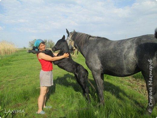 хочу показать вам моих любимцев,это лошади, мои собственные и  питомцы в конюшне конной полиции. это Честер,он будёновской породы,очень своенравный и характерный. без седла паинька а вот под седлом монстр. фото 5
