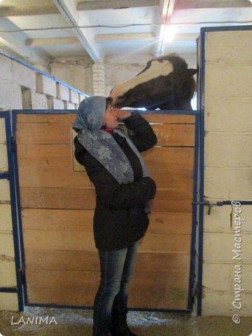 хочу показать вам моих любимцев,это лошади, мои собственные и  питомцы в конюшне конной полиции. это Честер,он будёновской породы,очень своенравный и характерный. без седла паинька а вот под седлом монстр. фото 13