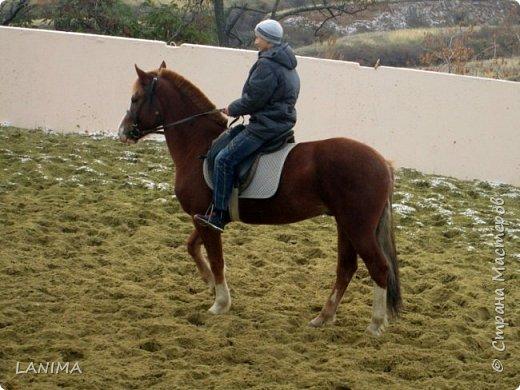 хочу показать вам моих любимцев,это лошади, мои собственные и  питомцы в конюшне конной полиции. это Честер,он будёновской породы,очень своенравный и характерный. без седла паинька а вот под седлом монстр. фото 20