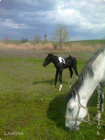 хочу показать вам моих любимцев,это лошади, мои собственные и  питомцы в конюшне конной полиции. это Честер,он будёновской породы,очень своенравный и характерный. без седла паинька а вот под седлом монстр. фото 6