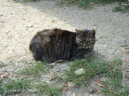 Бухарест. В этнографическом парке Румынская деревня, где собраны образцы домов из разных районов страны. А еще там много кошек, и все откормленные! Вместо экспонатов я снимала там кошек...  Серьезный кот. фото 8