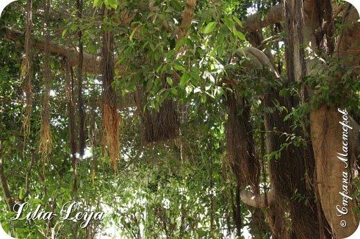 Оно - это лето, а там - это островное государство Кипр с населением менее  полутора миллиона человек.  То ли мне радоваться, то ли нет, но в этом году я обеднела ровно на две мечты!  Наконец-то я в живую увидела удивительное дерево БАНЬЯН ) До встречи с ним знала, что ореол его обитания - побережье Индийского океана. А тут... Средиземное море. фото 1