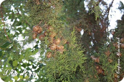Оно - это лето, а там - это островное государство Кипр с населением менее  полутора миллиона человек.  То ли мне радоваться, то ли нет, но в этом году я обеднела ровно на две мечты!  Наконец-то я в живую увидела удивительное дерево БАНЬЯН ) До встречи с ним знала, что ореол его обитания - побережье Индийского океана. А тут... Средиземное море. фото 28