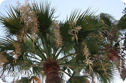 Оно - это лето, а там - это островное государство Кипр с населением менее  полутора миллиона человек.  То ли мне радоваться, то ли нет, но в этом году я обеднела ровно на две мечты!  Наконец-то я в живую увидела удивительное дерево БАНЬЯН ) До встречи с ним знала, что ореол его обитания - побережье Индийского океана. А тут... Средиземное море. фото 34