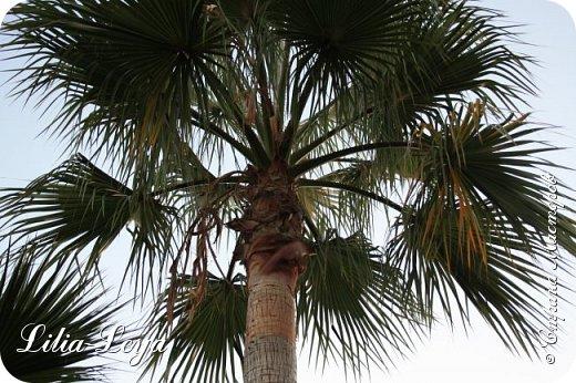 Оно - это лето, а там - это островное государство Кипр с населением менее  полутора миллиона человек.  То ли мне радоваться, то ли нет, но в этом году я обеднела ровно на две мечты!  Наконец-то я в живую увидела удивительное дерево БАНЬЯН ) До встречи с ним знала, что ореол его обитания - побережье Индийского океана. А тут... Средиземное море. фото 35
