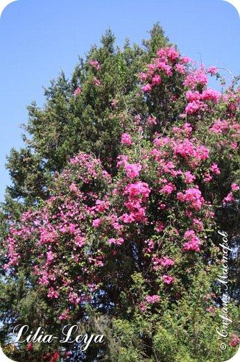 Оно - это лето, а там - это островное государство Кипр с населением менее  полутора миллиона человек.  То ли мне радоваться, то ли нет, но в этом году я обеднела ровно на две мечты!  Наконец-то я в живую увидела удивительное дерево БАНЬЯН ) До встречи с ним знала, что ореол его обитания - побережье Индийского океана. А тут... Средиземное море. фото 45