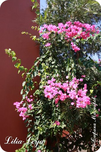 Оно - это лето, а там - это островное государство Кипр с населением менее  полутора миллиона человек.  То ли мне радоваться, то ли нет, но в этом году я обеднела ровно на две мечты!  Наконец-то я в живую увидела удивительное дерево БАНЬЯН ) До встречи с ним знала, что ореол его обитания - побережье Индийского океана. А тут... Средиземное море. фото 46