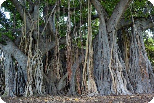 Оно - это лето, а там - это островное государство Кипр с населением менее  полутора миллиона человек.  То ли мне радоваться, то ли нет, но в этом году я обеднела ровно на две мечты!  Наконец-то я в живую увидела удивительное дерево БАНЬЯН ) До встречи с ним знала, что ореол его обитания - побережье Индийского океана. А тут... Средиземное море. фото 6