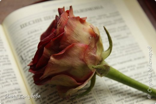 """""""Нас розы нежный аромат Манит в мечтательные дали, Она огонь, она и хлад, Созвездье радости-печали!!"""" ( Дмитрий Румата)  Не оставляю попыток слепить реалистичную увядающую розу) Вот и сейчас леплю букеты свежих,а тут нагрянуло вдохновение на такую))) Ну немного еще помучаю вас такой,а потом только свежие,обещаю) Все таки и в увядающих розах есть свое очарование и шарм,мне так кажется) фото 8"""