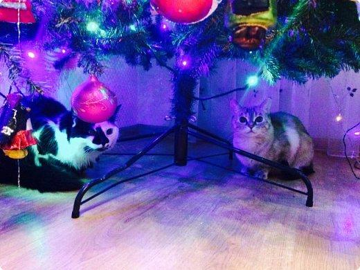 Всем привет!!!! Знакомьтесь, мои кошки. Тося, Степа, Вася, Тиша. фото 17