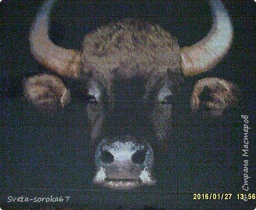 буйвол фото 2